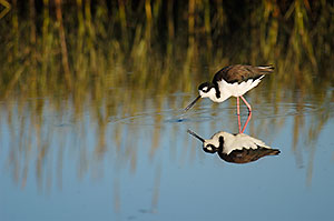 Black Necked Stilt, Palo Alto Baylands Preserve