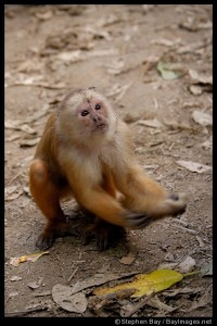 Please sir, may I have some more? This is a White Faced Capuchin Monkey.