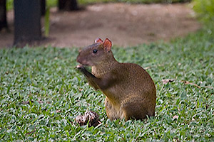 This is an agouti - an extremely large rodent. He looks small here, but these guys can be more than 20 inches long and weigh up to eight pounds.
