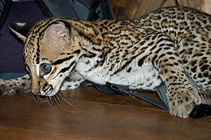 This baby ocelot had a grand time attacking Stephen's hat and backpack.
