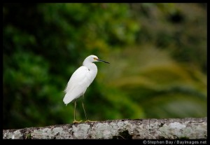 A snowy egret in Tortuguero National Park.