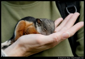 Baby variegated squirrel sleeping in my hand.