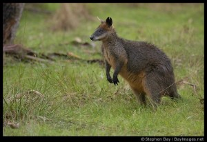 A wallaby in the wild.